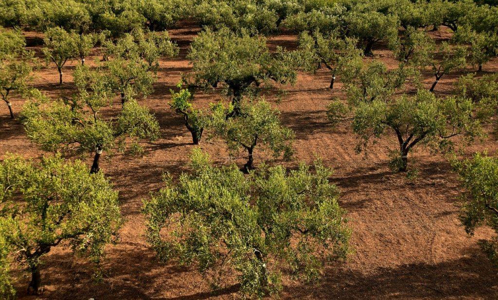 olive trees, olive field, mediterranean