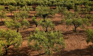 olive trees, olive field, mediterranean